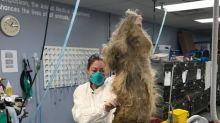 Pour sauver ce chien, il a fallu lui retirer 4kg de poils et 17 cm d'ongles
