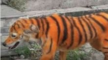 Cachorro pintado de tigre revolta redes sociais; veja