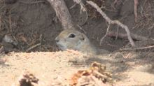 Concerns raised about gopher poison used by City of Regina