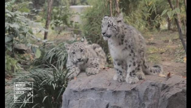 Twin snow leopard cubs make debut at New York zoo