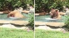 Homem filma momento em que urso desfruta de sua jacuzzi e toma margarita
