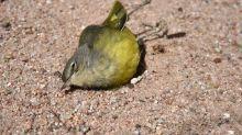 Alerta: las aves desaparecen por millones de los cielos de Norteamérica