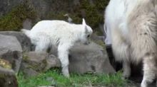 Oregon Zoo Welcomes Newborn Mountain Goat, And He's Already on The Go