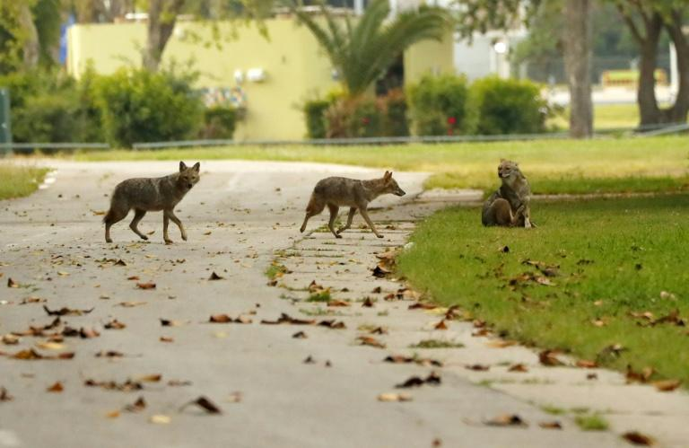 A pack of jackals cross a pathway in deserted Hayarkon Park in the Israeli coastal city of Tel Aviv (AFP Photo/JACK GUEZ)