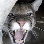 'Emaciated' Cougar Mauls Two Washington Cyclists, Killing One