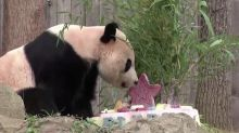 Panda Bei Bei enjoys farewell treats