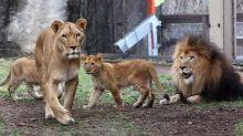 Leonessa uccide leone, padre dei suoi tre cuccioli: 'Aggressività incomprensibile'