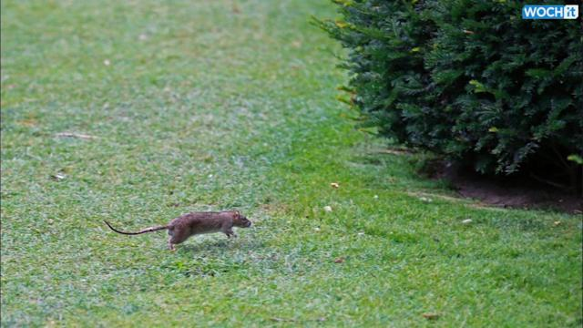 Elegant Louvre Garden In Paris Infested With Rats