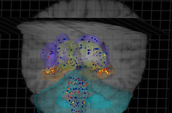 Allen Institute completes gene expression map of the human brain in high-resolution 3D