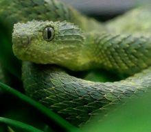 Venomous viper bites San Diego Zoo employee, officials say. There's no anti-venom for it