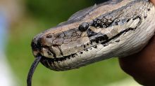 Record-breaking python killed in Florida Everglades hunt
