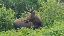 Moose cull in Cape Breton Highlands National Park to resume next month