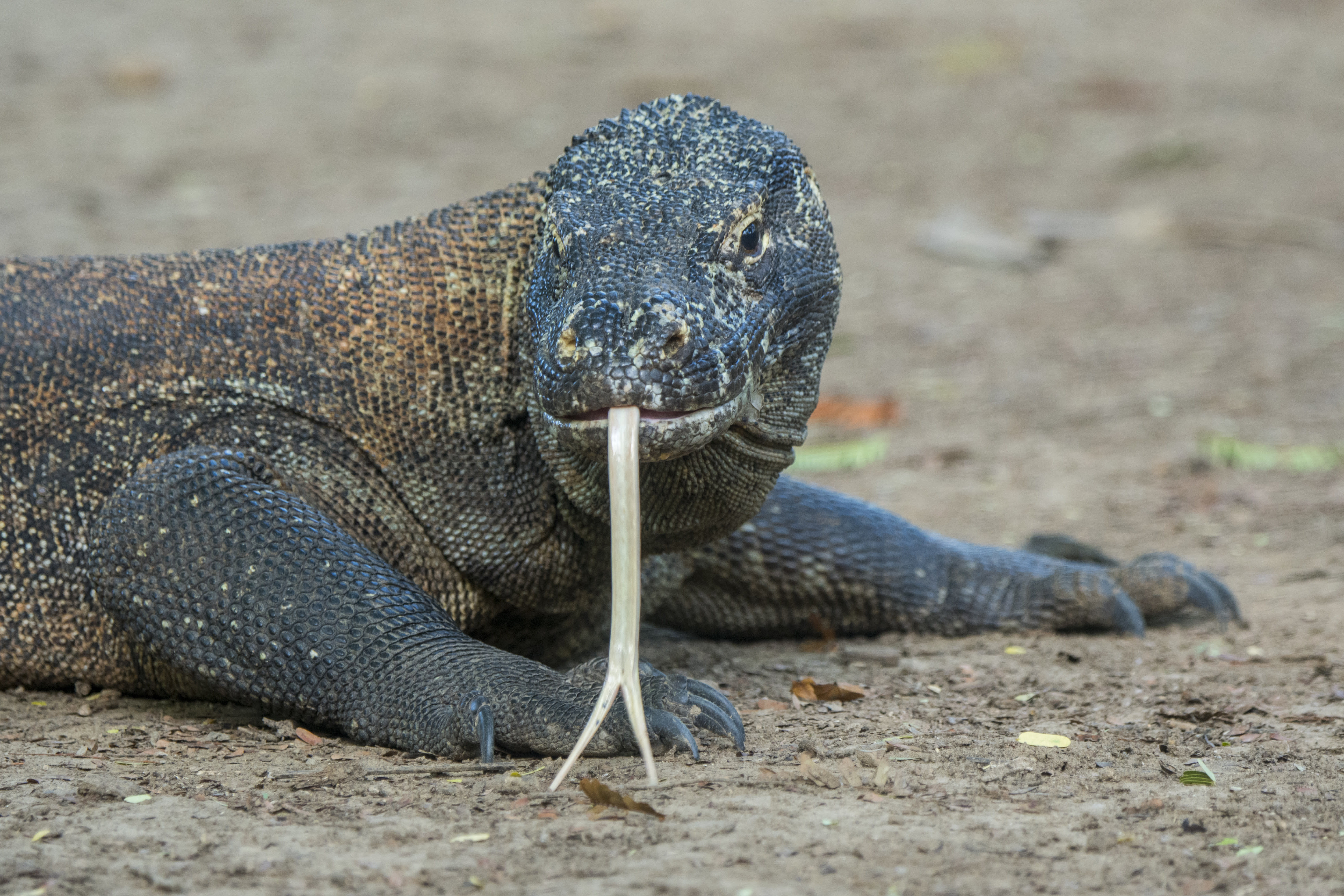 Komodo dragons sexually mature