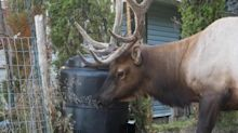 Friendly wild elk eats out of compost bin