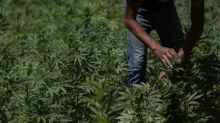 Growers fret as Mexico moves to legalize marijuana