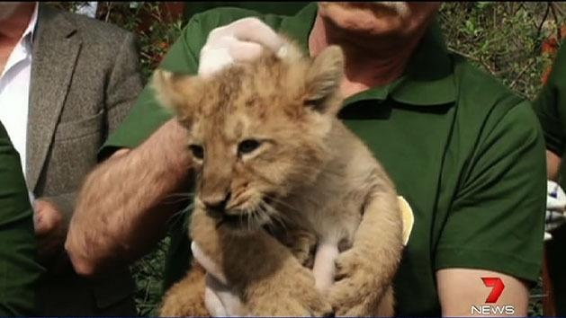 Lion cubs meet the public