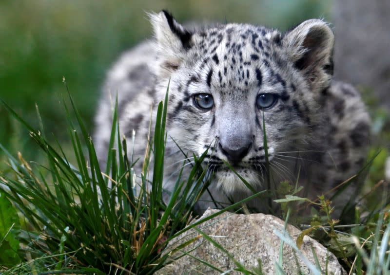 FILE PHOTO: A three month old snow leopard cub is seen at the Brookfield Zoo in Brookfield, Illinois