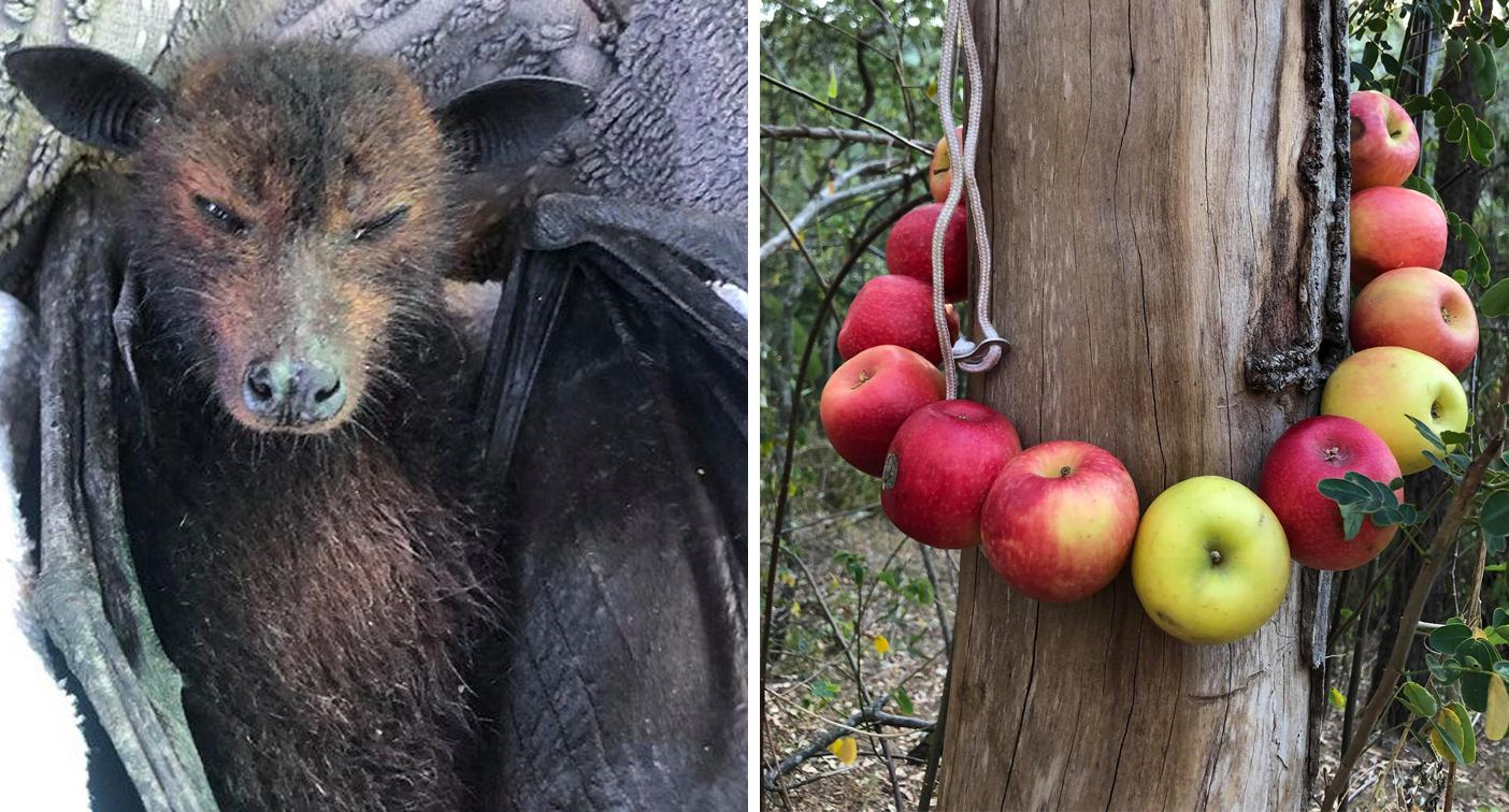 'They're at death's door': Unorthodox advice to help flying foxes starving in the wild