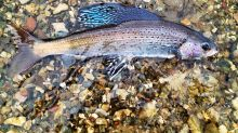 US wildlife agency rejects protections for rare fish species
