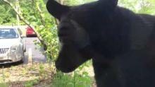 Black Bear Peeks In Office Building Window in Grand Rapids