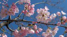 En Tokio, los cerezos en flor marcan la llegada de la primavera
