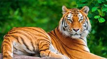 International Tiger Day 2020: History and Significance of This Day