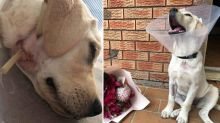 Assistance puppy and trainers attacked by stray dog
