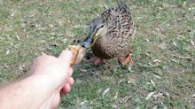 Enten füttern: Gute Tat oder Gefahr für die Tiere?