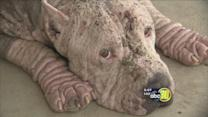 Fresno police seek owner of abused pit bull