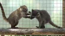 Playful Raccoon and Coati Share Adorable Friendship