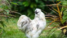 Vergiss Katzen oder Hunde: Hühner sind die neuen Lieblingshaustiere