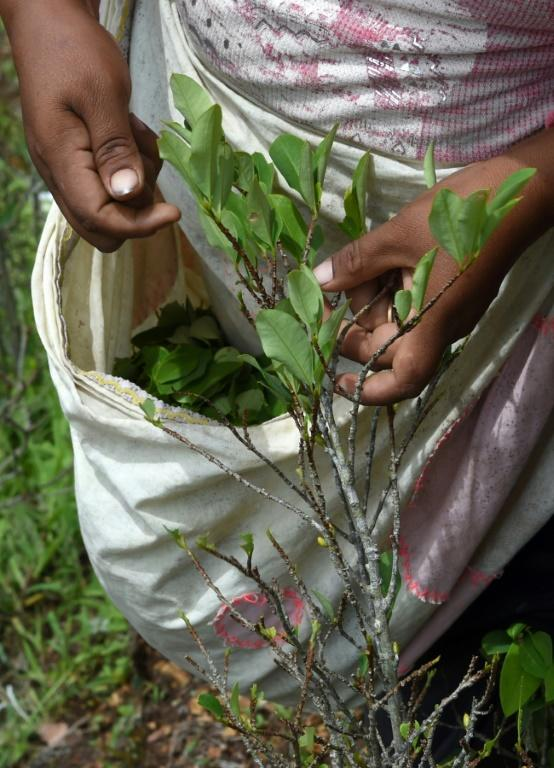 Harvesting coca leaves in Cruz Loma, a warm and humid area of the Andes whose residents lay claim to be the real heirs of traditional coca farming and use (AFP Photo/AIZAR RALDES)