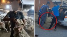 Slaughtered in the street: Brutal treatment of Australian sheep caught on camera