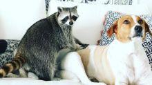 Meet the raccoon living her best life as a puppy