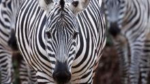 Pet zebra shot and killed by owner in Florida after escaping