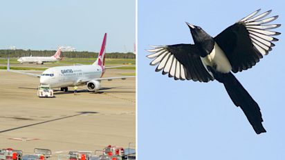 Magpies could lead to more airport collisions