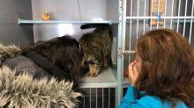 Mulher encontra gato perdido no Facebook dois anos após o desaparecimento