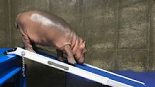 Zoo plan for baby hippo: More independence, nix lap naps