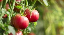 Wie elektrische Zahnbürsten bei der Tomatenzucht helfen können