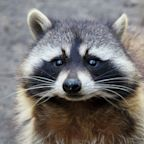 Local Raccoons Not Rabid, Just Extremely Drunk