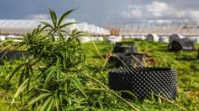 Cheap land may be driving boom in illegal eastern Ontario pot grow-ops