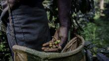 60 Prozent der Kaffeesorten sind vom Aussterben bedroht