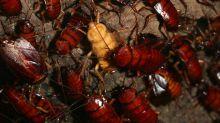 El secreto de la resistencia de las cucarachas americanas