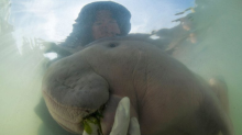 Meet Marium, the Baby Dugong, Who is an Internet Sensation in Thailand