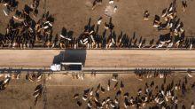 Vacas que eructan y corrales interminables: cómo arreglar los problemas climáticos que produce el ganado
