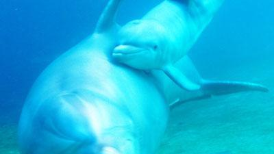 On Video, dolphin gives birth to calf in Hawaii