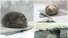 【相集】大阪「海遊館」波狀「海豹」 超搞笑網民狂分享