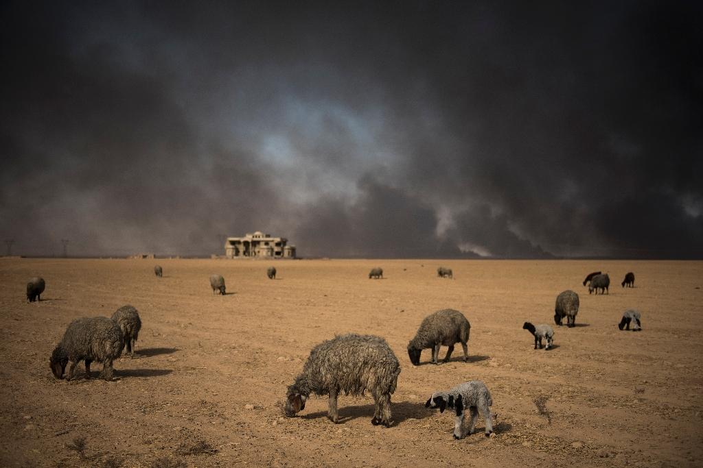 Blackened sheep graze as oil wells, set ablaze by retreating Islamic State (IS) jihadists, burn in the background, in the town of Qayyarah, some 70 km south of Mosul on November 20, 2016 (AFP Photo/Odd Andersen)