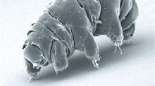 ¿Y si incorporamos genes de tardígrado en nuestro ADN para protegernos contra la radiación?
