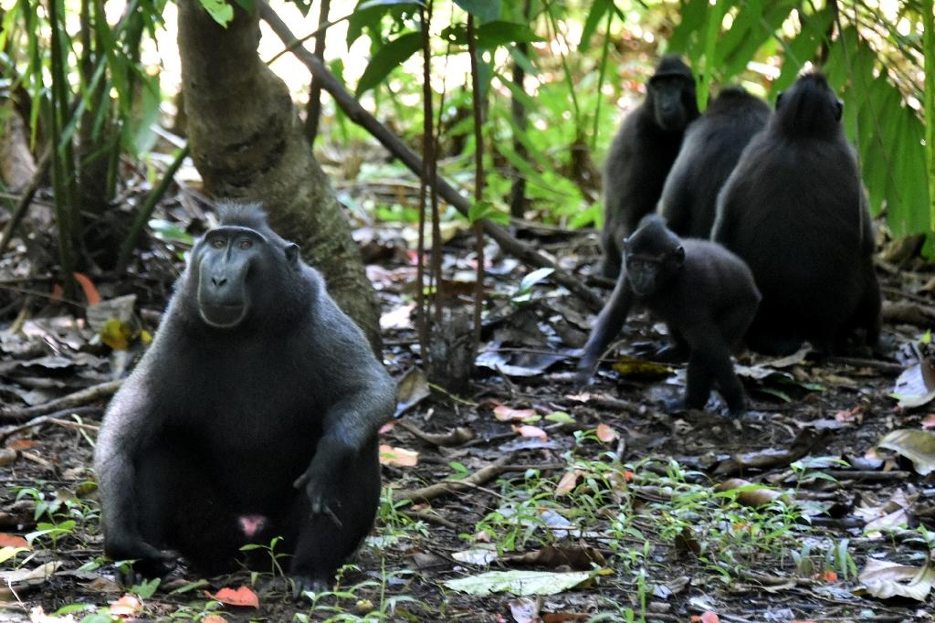 A troop of black crested macaques (Macaca nigra), seen at the Tangkoko nature reserve in northern Sulawesi, Indonesia (AFP Photo/Bay Ismoyo)